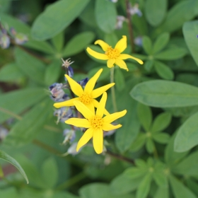 yellow_aster