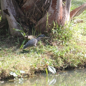 Striated Heron tuft up