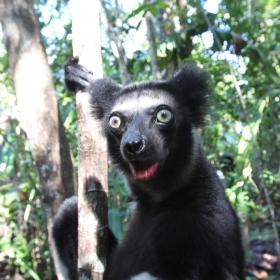 Indri surprised