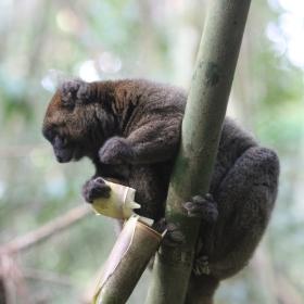 Greater Bamboo lemur