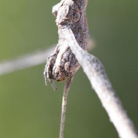Stick bug eye